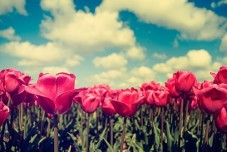 beautiful-flowers-red-sky-tulips-Favim.com-281002